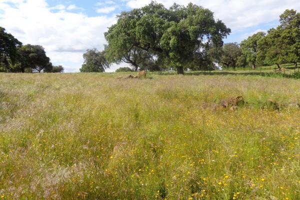 Livestock farm in Córdoba - Pastures and holm oaks.